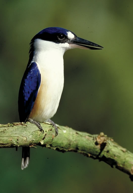 forest-kingfisher